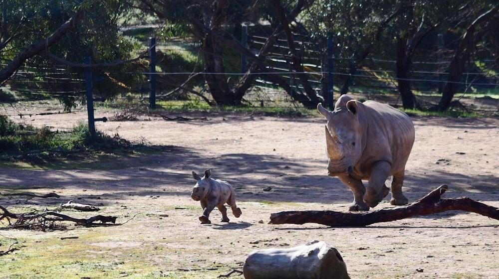 Rinocerontes blancos del sur, madre e hija, jugando y corriendo en Australia.