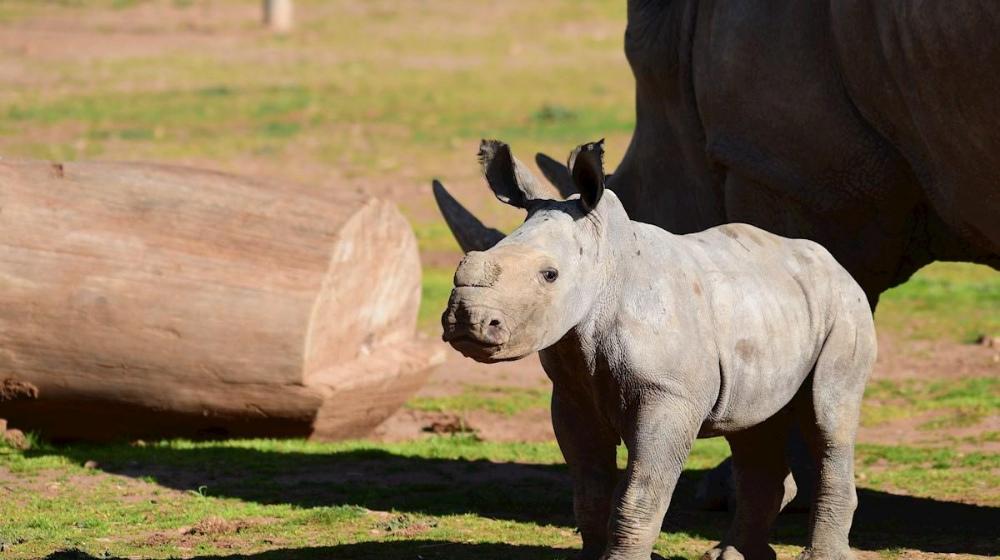 Cría de rinoceronte blanco del sur.
