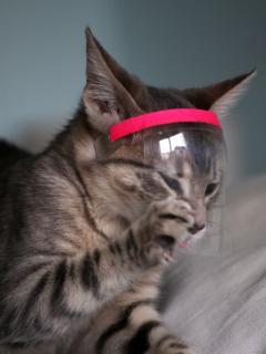 Gatos pueden contagiarse entre ellos con la COVID-19