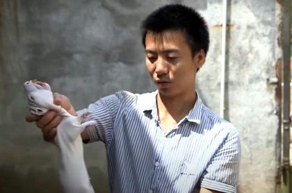 Rata del bambú, apta para consumo humano.