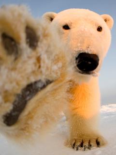 Cada vez más se presentan encuentros peligrosos entre humanos y osos polares