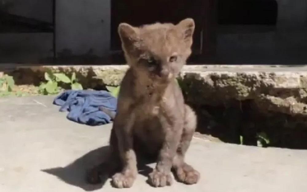 Cría de puma que apareció en el Tolima.
