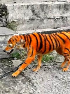 Perro que vándalos pintaron para que pareciera un tigre.