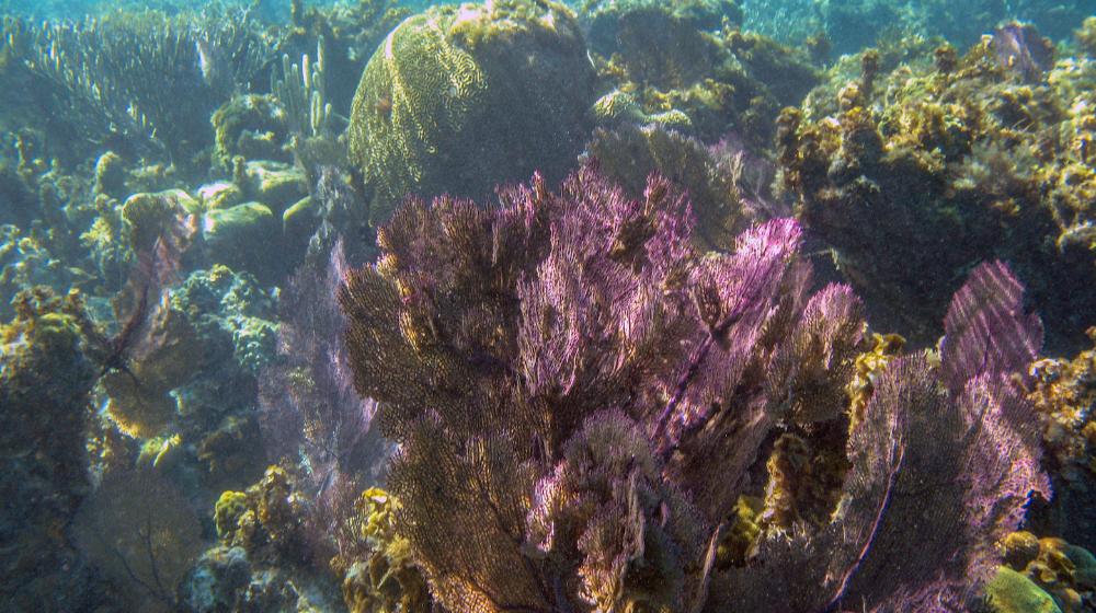 Corales en el Gran Agujero Azul de Belice