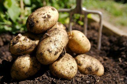 Imagen de papas para ilustrar nota sobre los beneficios nutricionales de este alimento