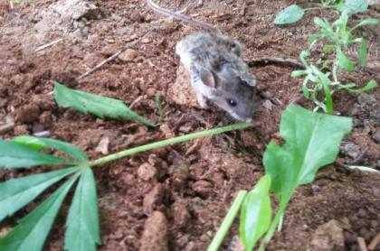 Foto de un ratón comiéndose un tallo de una hoja de marihuana. El animal lo hizo durante varios días, en Canadá.