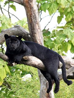 Pantera negra en un árbol.