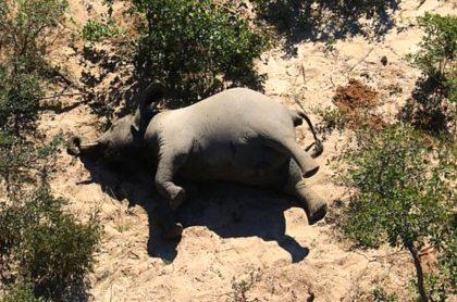 Cientos de elefantes murieron por bacteria, en Botsuana