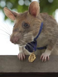 Rata entrenada para detectar minas antipersona