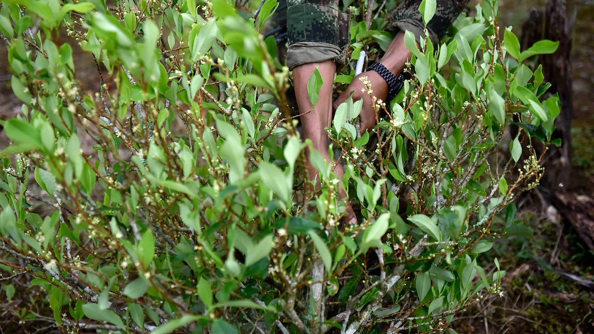Cultivo de hoja de coca, una de las causas del conflicto armado en Colombia