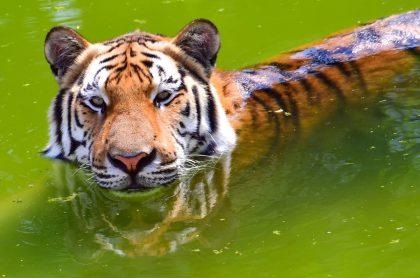 Tigre de bengala ha matado a 8 personas.