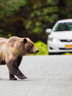 Oso ilustra nota de aterrador momento en que oso persigue carros y trata de subirse a camión