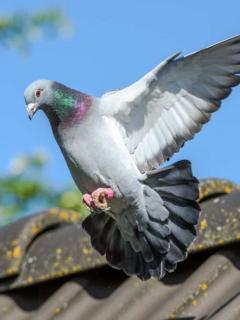 Imagen de paloma mensajera