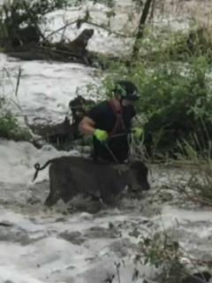 Bomberos se meten en creciente de río Bogotá y rescatan animales