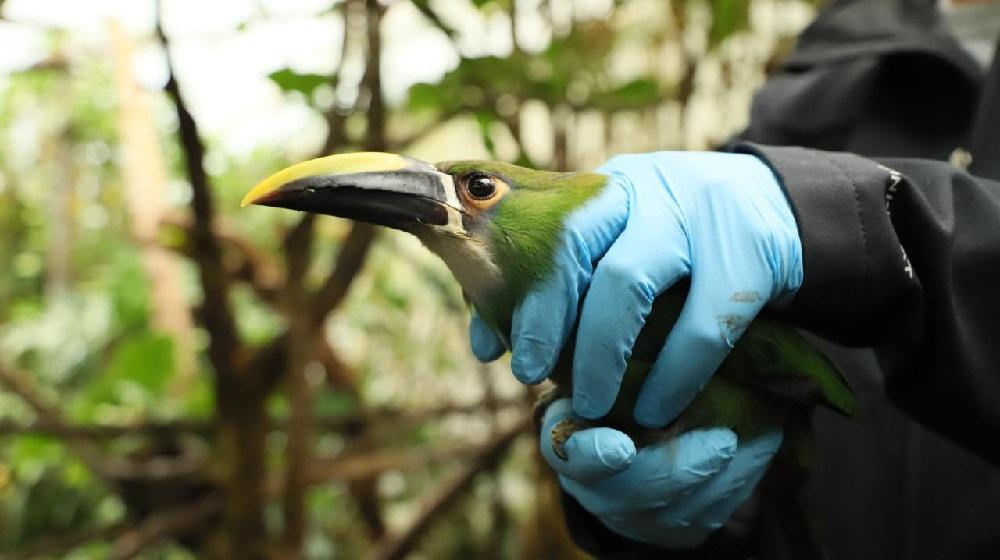 Un tucán de la especie Aulacorhynchus prasinus también hace parte del grupo que estaba bajo cuidado del Instituto Distrital de Protección y Bienestar Animal / Imagen de la Secretaría de Ambiente.