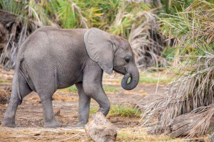 """Bebé elefante, ilustra nota de uno que se """"escondió"""" detrás de un poste de luz tras robar comida"""