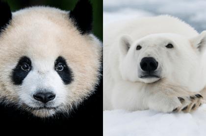 Oso panda y oso polar, dos animales que están en peligro de extinción en 2020