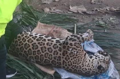 Jaguar en vía de extinción, hallado muerto en una vía de Montería