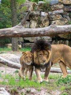 Leones en zoológico, ilustra nota de 4 leones que se contagiaron de coronavirus en España