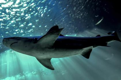 Foto de tiburón ilustra artículo Tiburón mató a mujer en San Martin (Caribe)