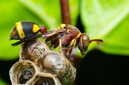 Avispón gigante, ilustra nota sobre las abejas, que usan excrementos para defenderse del avispón gigante
