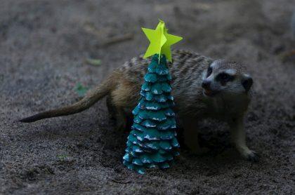 Suricata que goza con la decoración navideña del Zoológico de Cali.