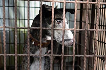 En esta foto tomada el 26 de noviembre de 2020, un perro de Sarail se sienta en una perrera en la casa de los hermanos zapateros y criadores de perros de Sarail Joton Rabidas y Topon Rabidas en Sarail