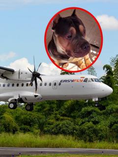 Avión de Easyfly, aerolínea donde murió un perro al viajar en bodega, y Homero, el perro que murió