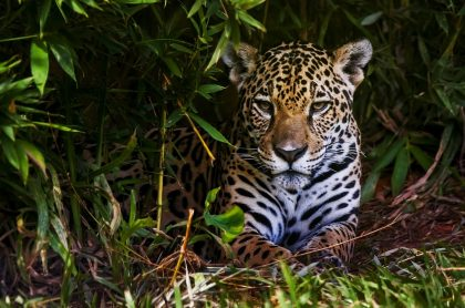 Un jaguar, en alusión al ataque a dos indígenas en Boyacá.
