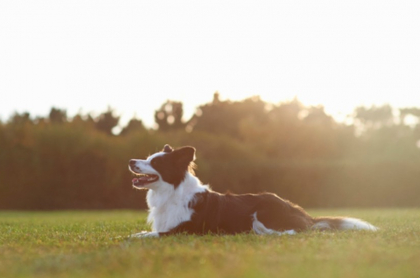 Perro border collie, ilustra nota de mascota que recibió millonaria herencia de su amo soltero