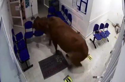 Vaca que ingresó a sala de urgencias de hospital de Antioquia