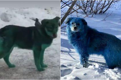Perros con pelaje de color verde y azul, ilustran fotos virales de perros de color azul y verde en Rusia