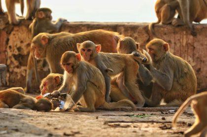 Manada de monos, ilustra nota de bebé que murió luego de ser robada por unos monos en Thanjavur, India