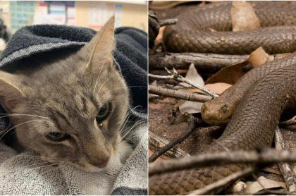 Arthur, el gato australiano que murió por enfrentar a serpiente venenosa para defender a niños