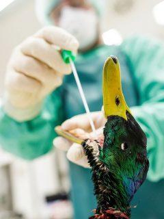 Gripe aviar, nueva cepa H5N8: Rusia detecta caso en humanos