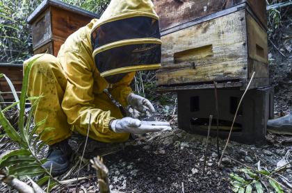 El apicultor Gildardo Urrego observa una abeja envenenada en su colmenar en Santa Fe de Antioquia (Antioquia), el 31 de enero de 2021.