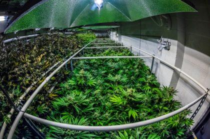 Cultivo de marihuana, ilustra nota de Tailandia pide a sus agricultores que vuelven la marihuana su principal cultivo