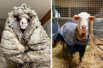 Oveja con 35 kilos de lana encima que fue rescatada