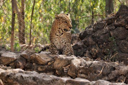 Imagen ilustra nota sobre un hombre que asesinó a un leopardo luego de que atacó a su hija y esposa