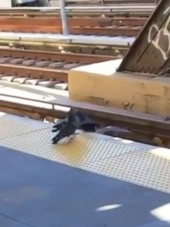 Captura de pantalla de video viral de palomas empujando a otra para matarla en vía de tren