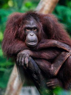Simios de zoológico de Estados Unidos recibieron vacuna contra el coronavirus. Orangután en Indonesia, imagen de referencia.