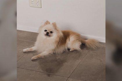 Gucci, la perra pomeriana que fue matada a golpes por un ladrón que irrumpió a casa a robar