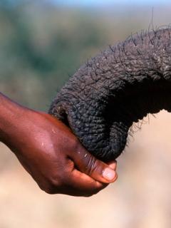 Mano de hombre y trompa de elefante en primer plano, ilustra foto viral de elefante reconoce y saluda al veterinario que le salvó la vida hace 12 año