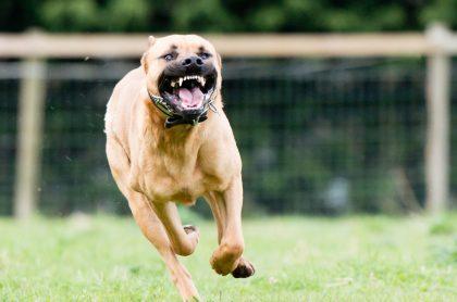 Perro corriendo ilustra imagen de nota sobre pitbull que le arrancó mano a una mujer en Santander