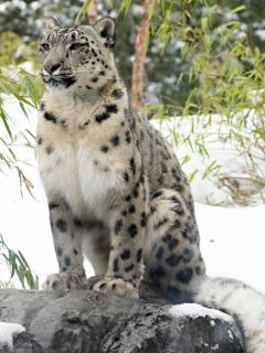 Leopardo del Amur con sus cachorros