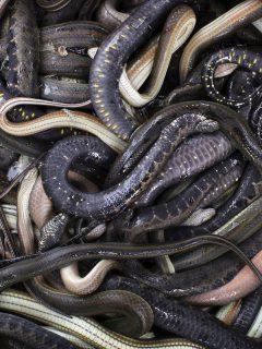 Imagen de serpientes, que ilustra nota; Policía descubre caja de encomienda enMedellíncon 36 serpientes