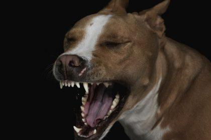 Perro pitbull ilustra nota de ataque de 4 animales a un niño en silla de ruedas, en Bogotá