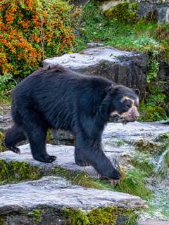 Imagen de referencia de un oso de anteojos.