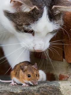 Imagen de gato ilustra artículo Gatos y otras especies invasivas son costo astronómico para humanidad