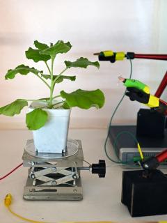 Prueba de electrodos colocados en la superficie de una planta de tabaco en un laboratorio en Singapur, mientras los científicos desarrollan un sistema de alta tecnología para comunicarse con la vegetación.